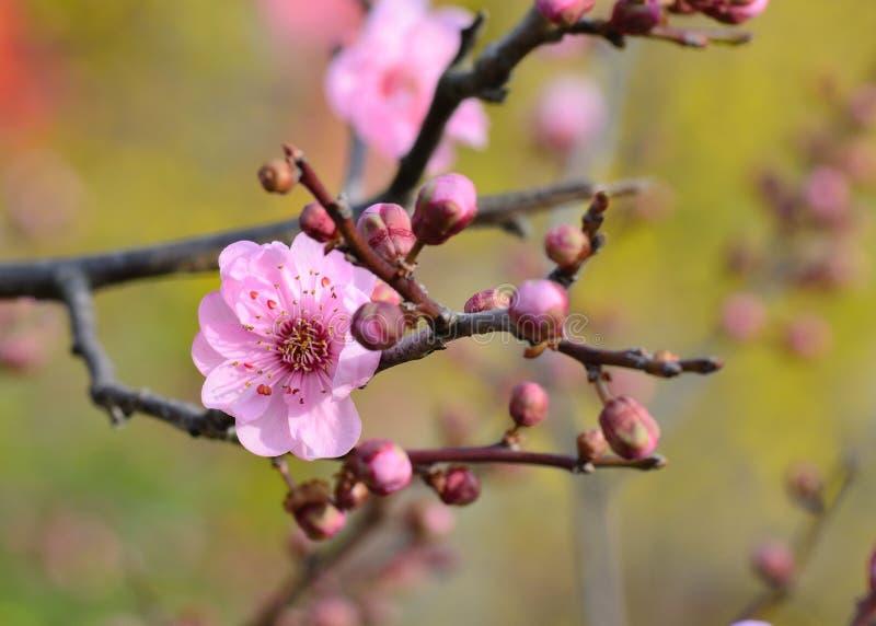 morelowego kwiatu okwitnięcia gałąź zakończenia kwiatu śliwkowy drzewo up obraz stock