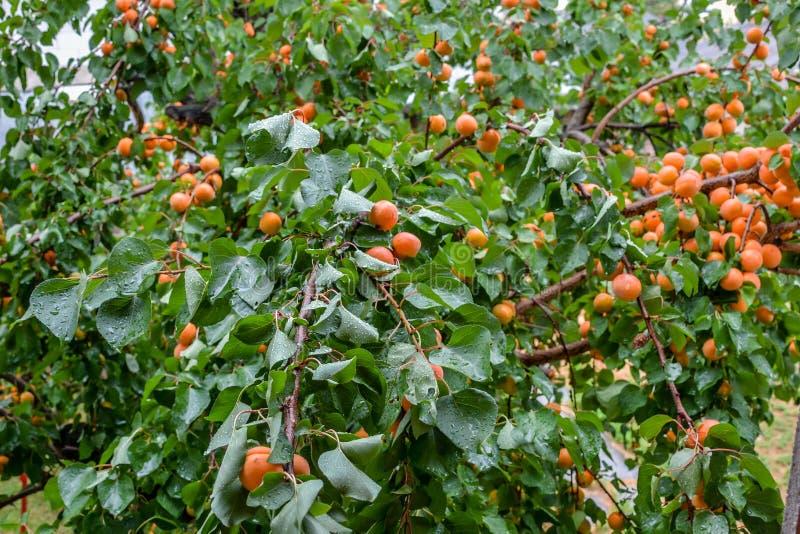 Morelowy drzewo zdjęcie stock