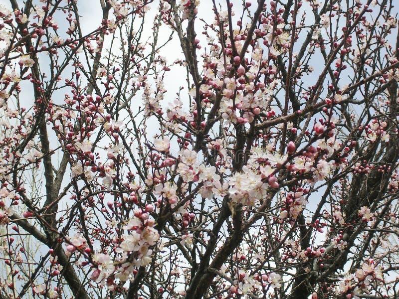Morelowy drzewo, menchia kwiaty, Marzec fotografia royalty free