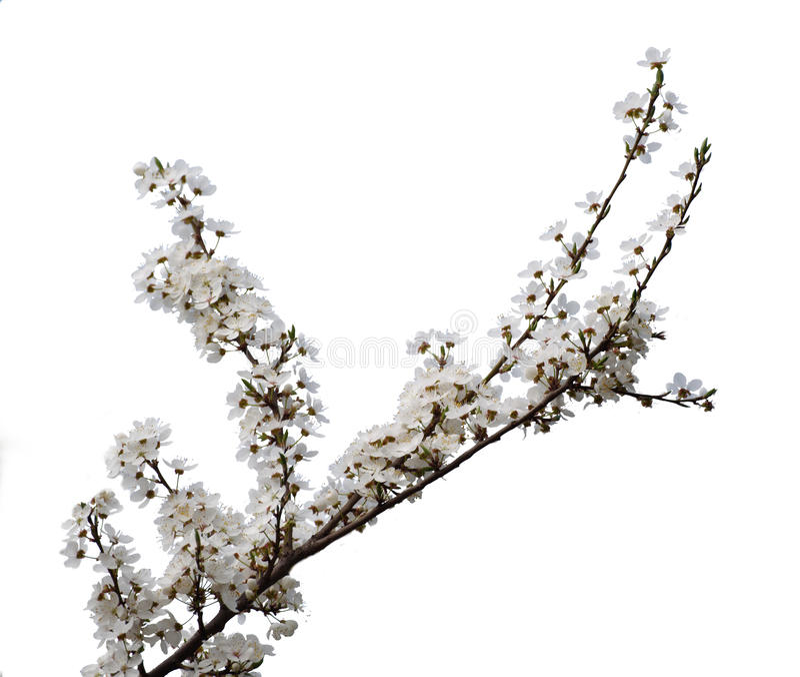 Morelowy kwiat odizolowywający zdjęcia stock