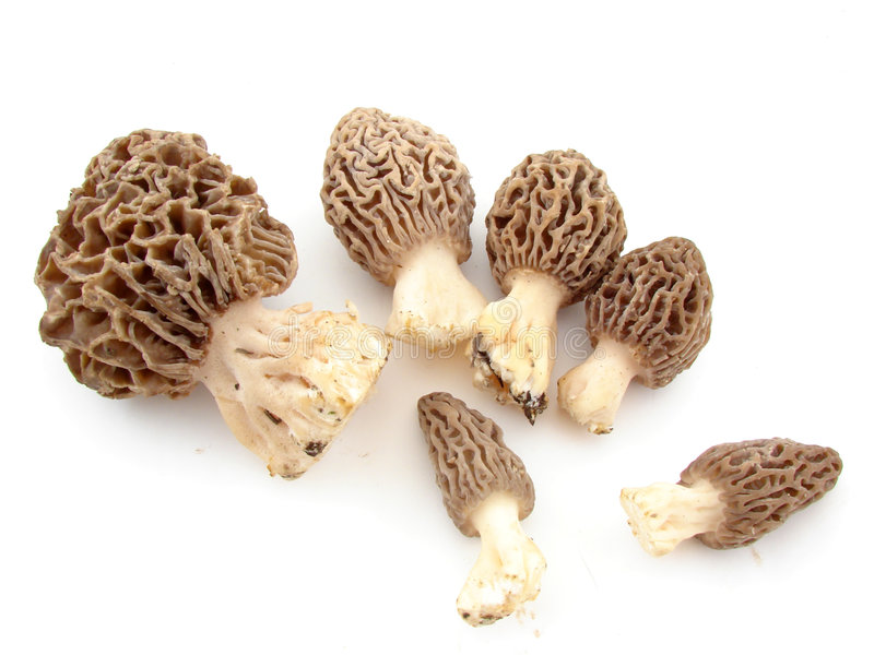 Morels. Black morels, delicacy in the mushroom kingdom, isolated on white background stock photos
