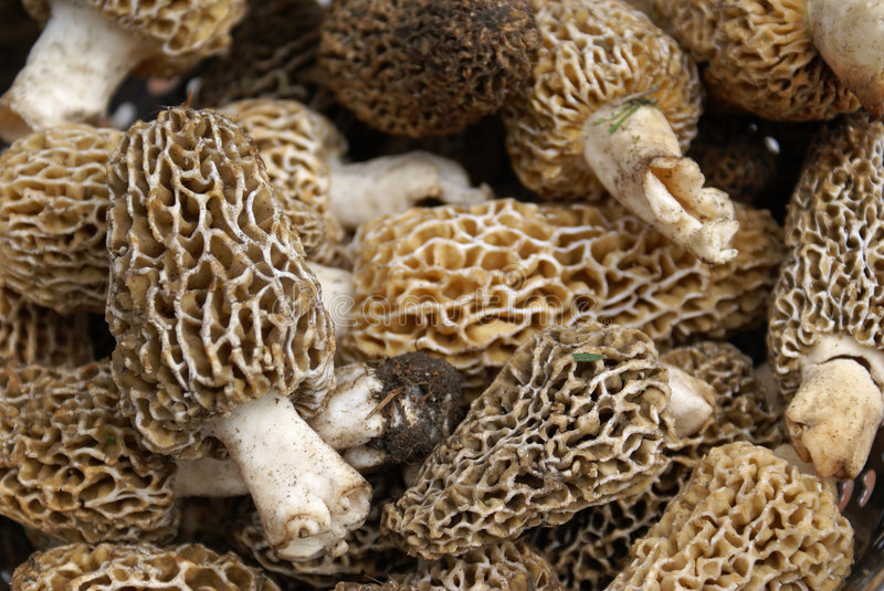 Morels. Are a wild mushroom that grows through out the US, but most heavily in the Great Lakes Region. Foodies love the nutty, almost steak-like flavor and the royalty free stock image