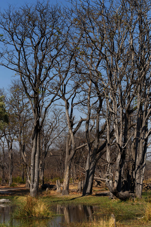 Moremi game reserve landscape. Beautiful landscape in the Okavango swamps, Moremi game reserve landscape, Okavango Delta, Botswana royalty free stock photo
