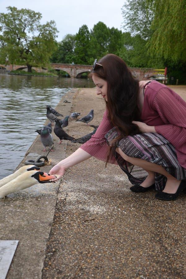Morena de cabelos compridos alimentando um Cygnus olor Swan Mute que morde os dedos foto de stock
