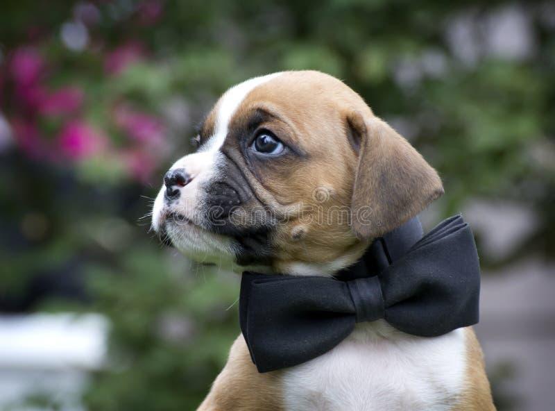 Moreno hermoso y perrito blanco del boxeador con la corbata de lazo negra fotos de archivo