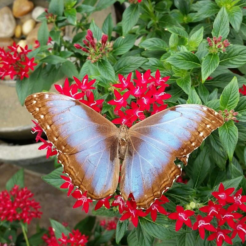 Moreno y mariposa azul fotos de archivo