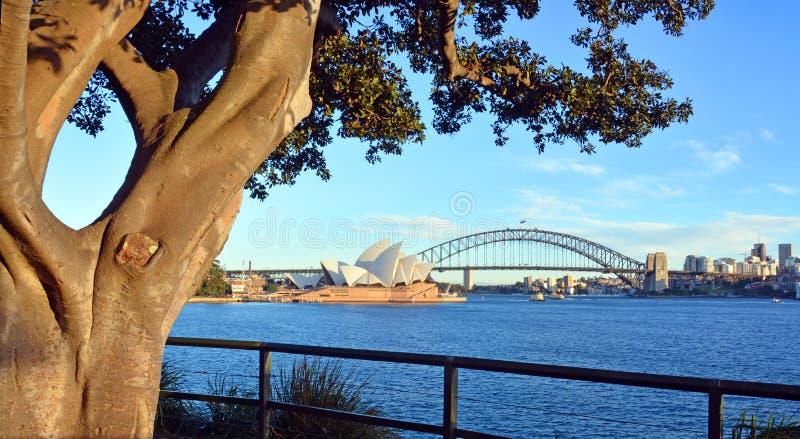 Moreton Bay Fig Tree frames Opera House & Harbour Bridge stock photo