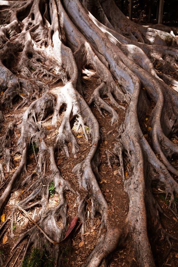 Moreton Bay Fig tree roots stock photo
