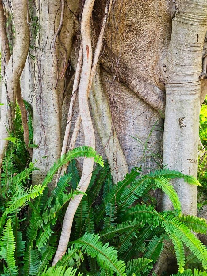 Moreton fjärdfikonträd, Sydney, Australien arkivfoto