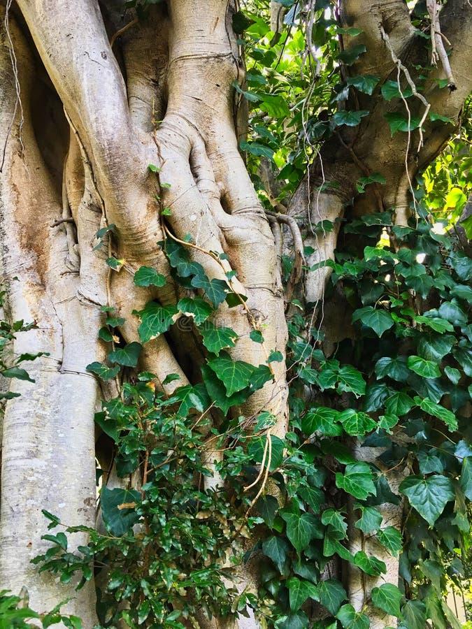 Moreton fjärdfikonträd, Sydney, Australien royaltyfria foton