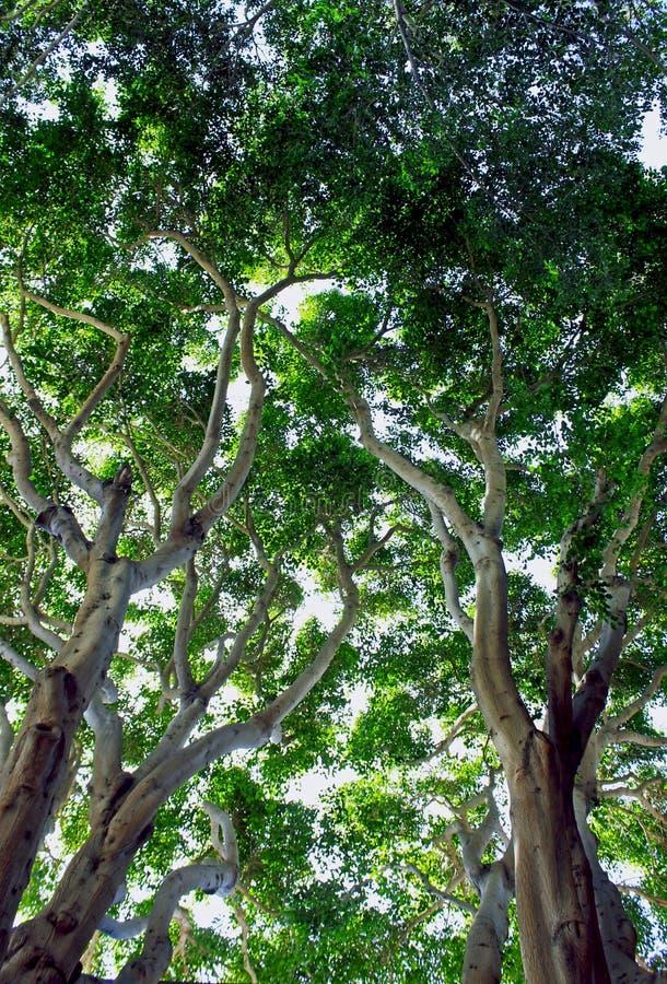 Moreton zatoki figi drzewo obraz royalty free