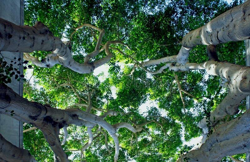 Moreton zatoki figi drzewo fotografia stock