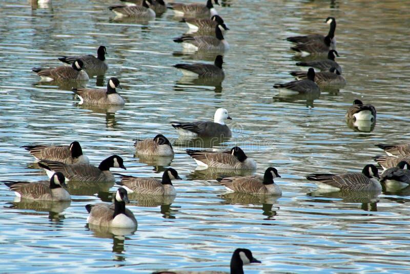 Morf för caerulescens för Anser för snögås som vuxen blå simmar med texas för stads- kanjon för sjö för Kanada gäss den centrala  fotografering för bildbyråer