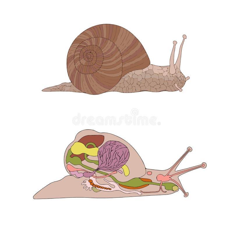 Morfología, corte transversal del caracol stock de ilustración