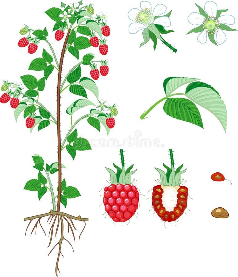 Morfologi av hallonbusken med bär, gröna sidor och att rota systemet vektor illustrationer