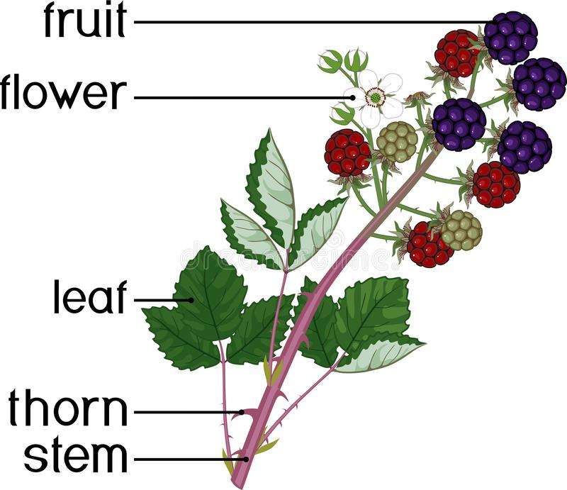 Morfologia do ramo da amora-preta com bagas maduras, as folhas verdes, as flores e os títulos ilustração royalty free