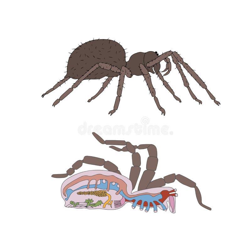 Morfologia, seção transversal da aranha ilustração royalty free