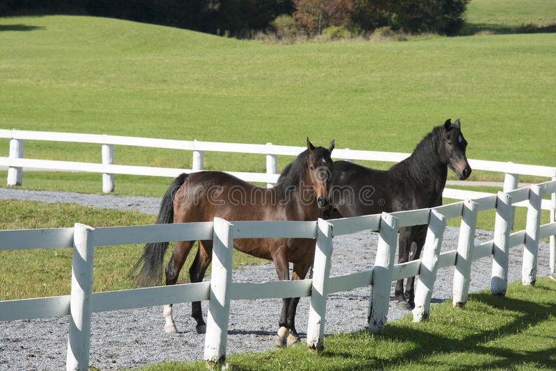 Morgan horses in meadow. Morgan horses are an American breed of horse favored by the cavalry royalty free stock photography
