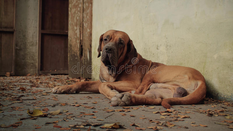 Morgan. Tropical dog Fila Brasilero having a rest in the garden royalty free stock photography