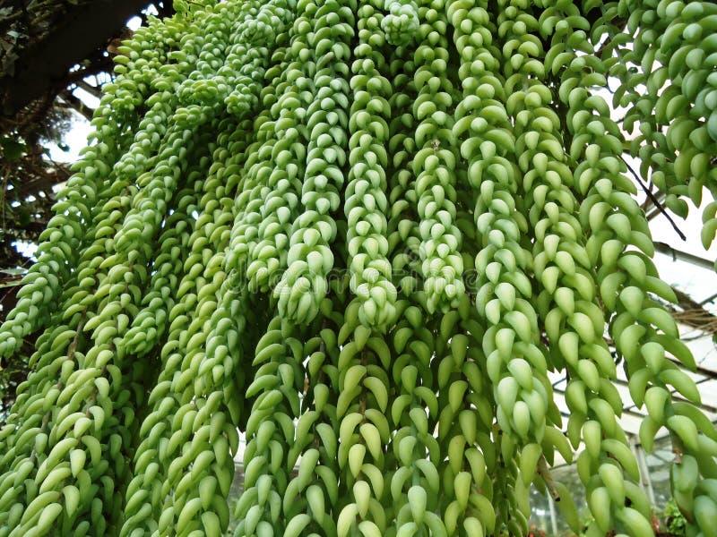 Morganianum de Sedum - planta do burrito fotografia de stock