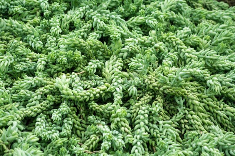 Morganianum e de Sedum o walther, planta pendurado com muitos suspensão longa provem imagem de stock royalty free