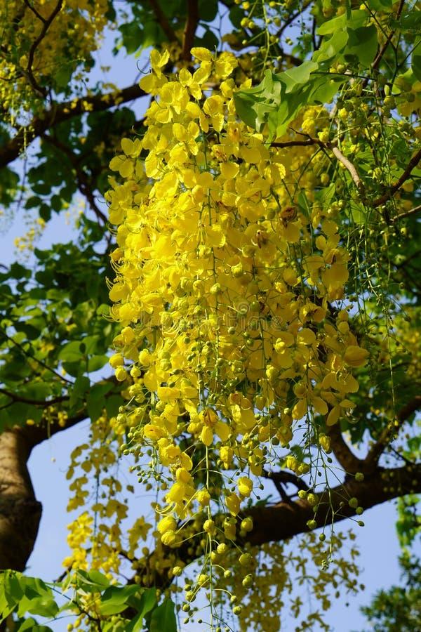 Morgen, gelber Kassiefistelblumenblumenstrauß auf Baum, blauer Himmel und weißer Wolkenhintergrund stockfoto