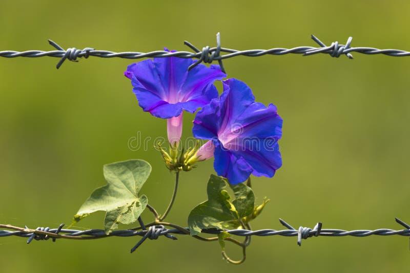 Morgen Glory Flowers, die auf Stacheldraht und unscharfem Hintergrund blüht stockfoto