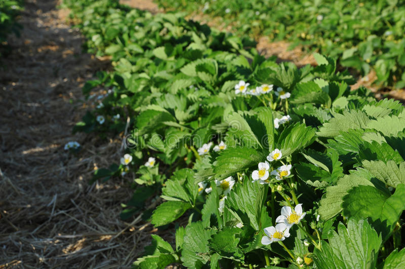 Morgen am schönen Erdbeerbauernhof stockfotografie