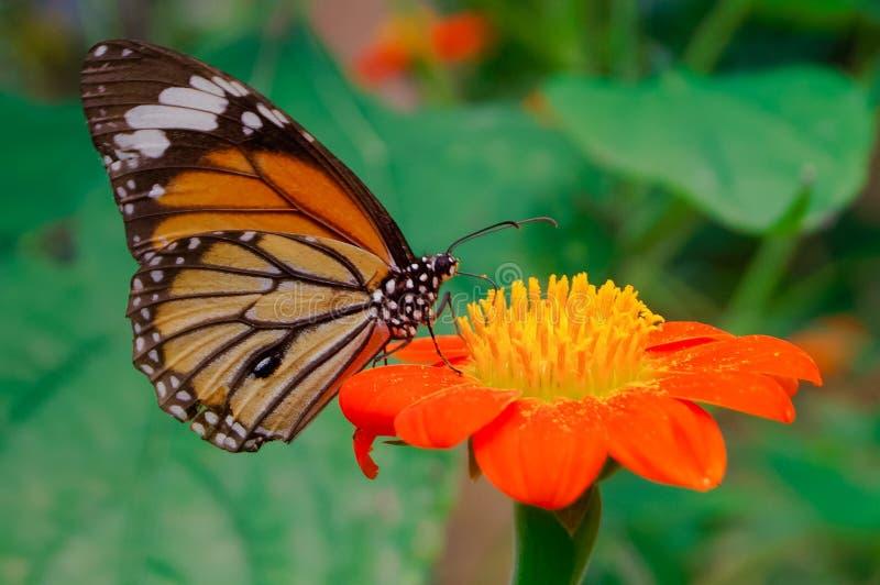 Morgen-Schmetterling u. Chrysantheme stockfotos