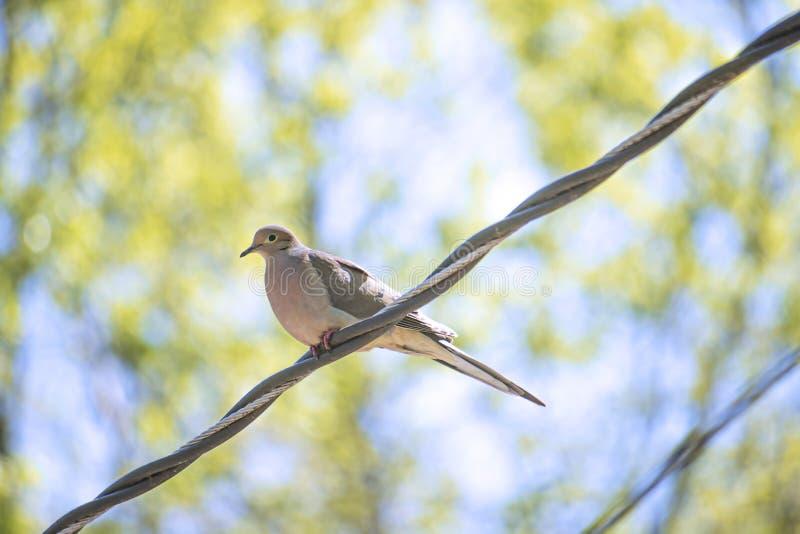 Morgen-Tauben-Vogel auf einem Draht lizenzfreies stockfoto