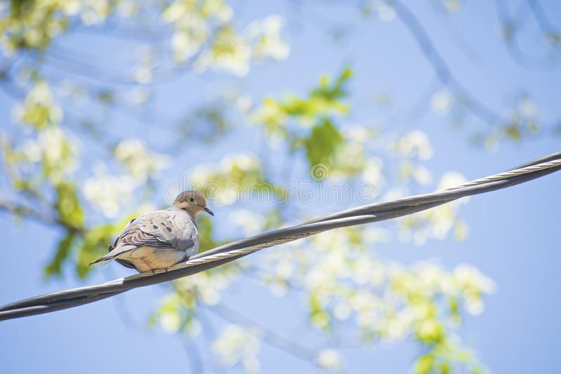Morgen-Tauben-Vogel auf einem Draht lizenzfreie stockfotos
