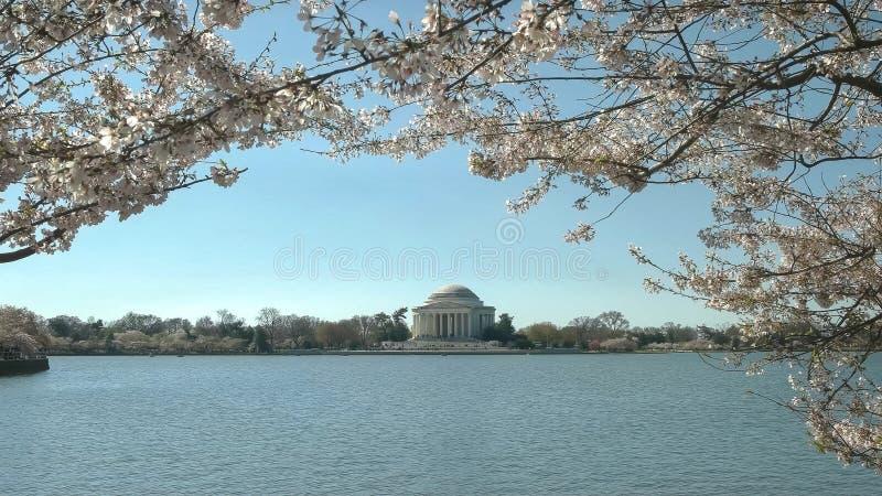 Morgenansicht von Jefferson-Denkmal- und -kirschblüten stockfoto