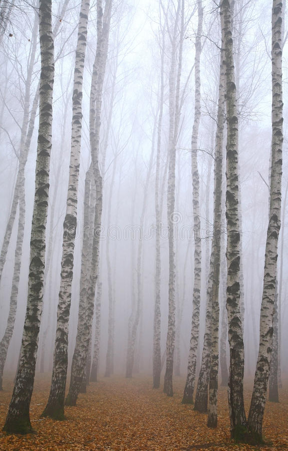 Morgenbahn tief im Nebelherbst-Birkenpark lizenzfreies stockfoto