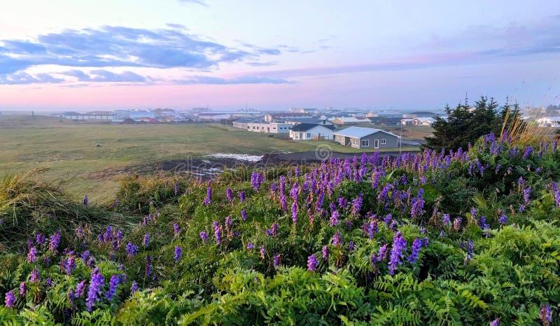 Morgendämmerung in der isländischen Stadt Hofn und blühende Lupinenblüten im Vordergrund, die Natur Islands lizenzfreies stockfoto