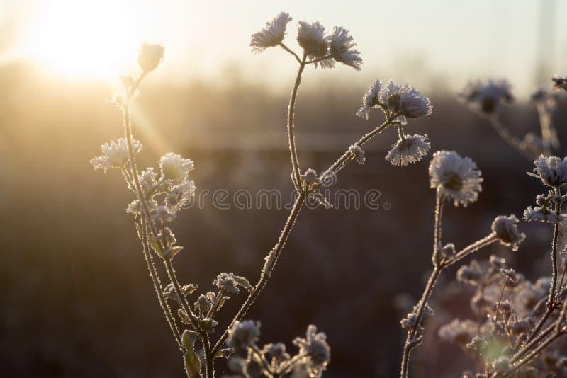 Morgenfröste auf den Niederlassungen und den Blumen der Feldkamille auf dem Gebiet stockbild