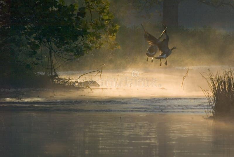 Morgengänse auf dem Flügel lizenzfreie stockbilder