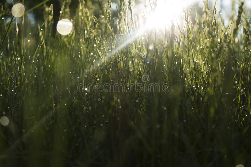 Morgengras lizenzfreies stockfoto