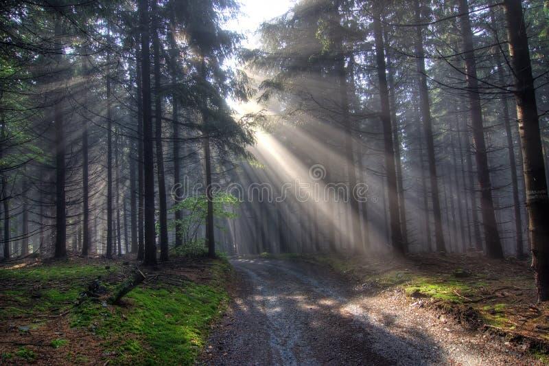 Morgenkoniferenwald im Nebel stockfotografie