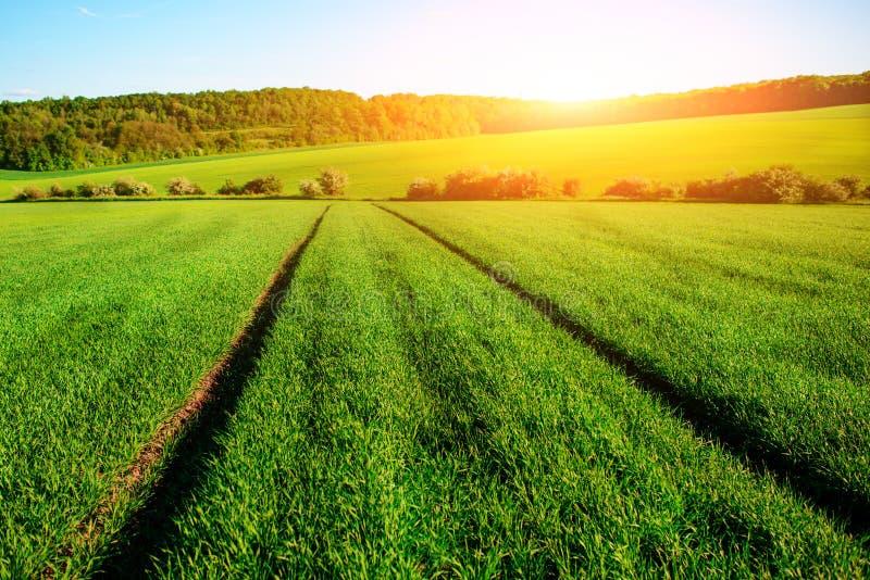 Morgenlandschaft mit grünem Feld, Spuren des Traktors in der Sonne strahlen aus stockbild