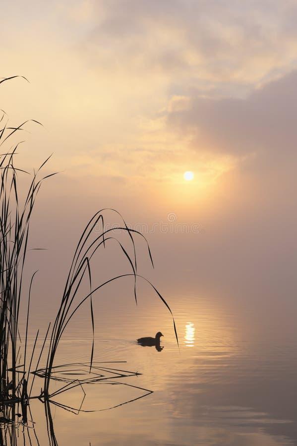 Morgennebel auf See mit Vogel stockbilder