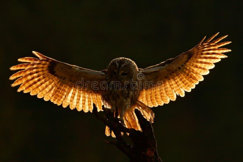 Morgenrücklicht Fliegeneule Eule in der Waldeule in der Fliege Actionszene mit Eule Fliegen-Eurasier Tawny Owl, mit Dunkelheit ve lizenzfreies stockfoto