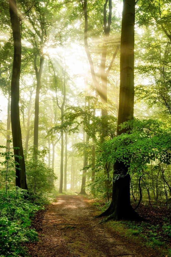 Morgensonne, die in den nebeligen Wald scheint lizenzfreie stockfotos
