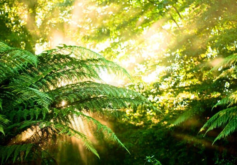 Morgensonne in einem nebelhaften Regenwald stockbild