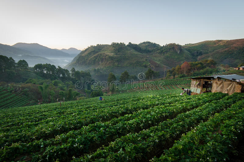 Morgensonnenaufgang auf dem Erdbeergebiet an doi angkhang Berg lizenzfreie stockfotos