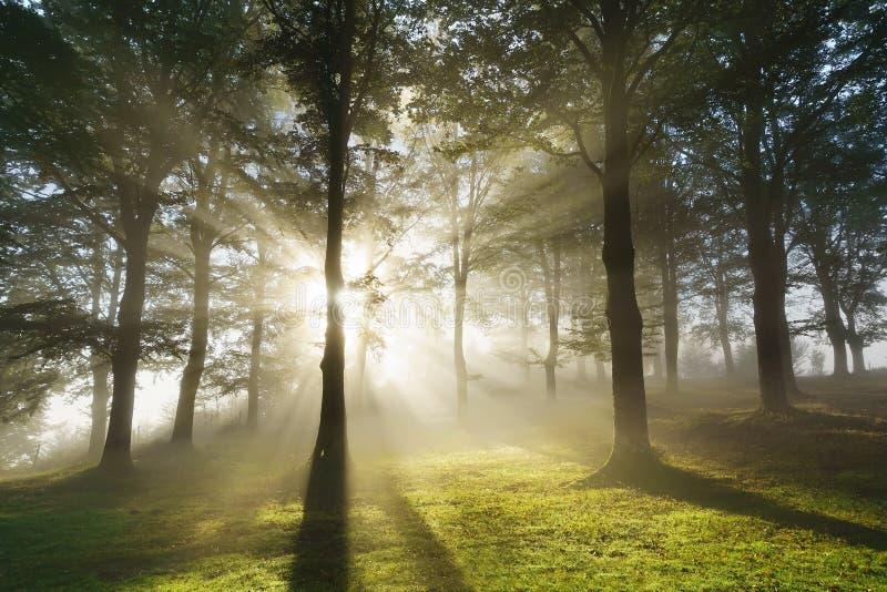Morgensonnenstrahlen auf Wald lizenzfreie stockfotos