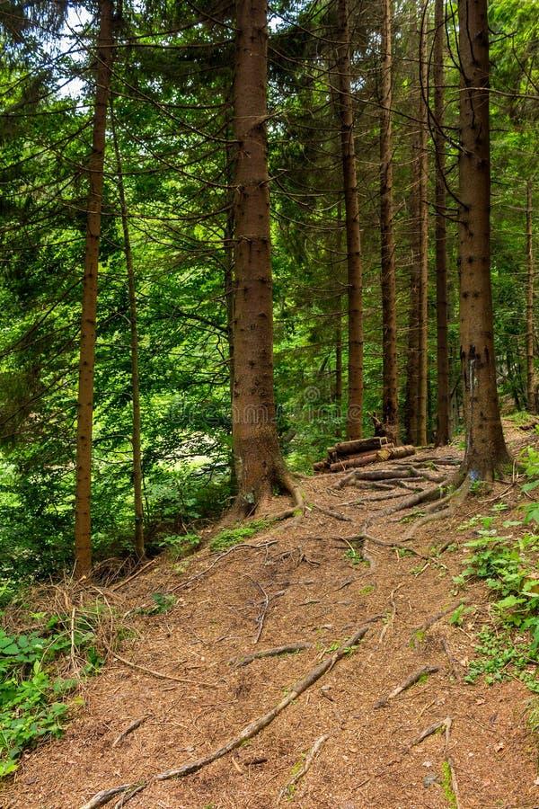 Morgenspaziergänge im Nadelbaumwald lizenzfreies stockfoto