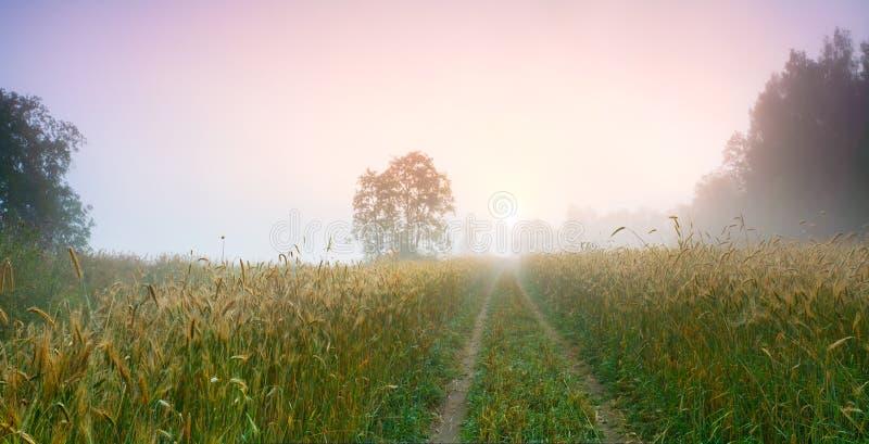Morgenstraße unter Feldern mit den Ohren des Roggens in Richtung zur Sonne stockfoto