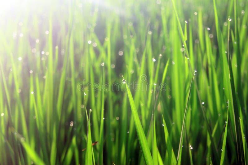 Morgentau auf dem Grün, das an einem Auffrischungsauge nippt stockfoto