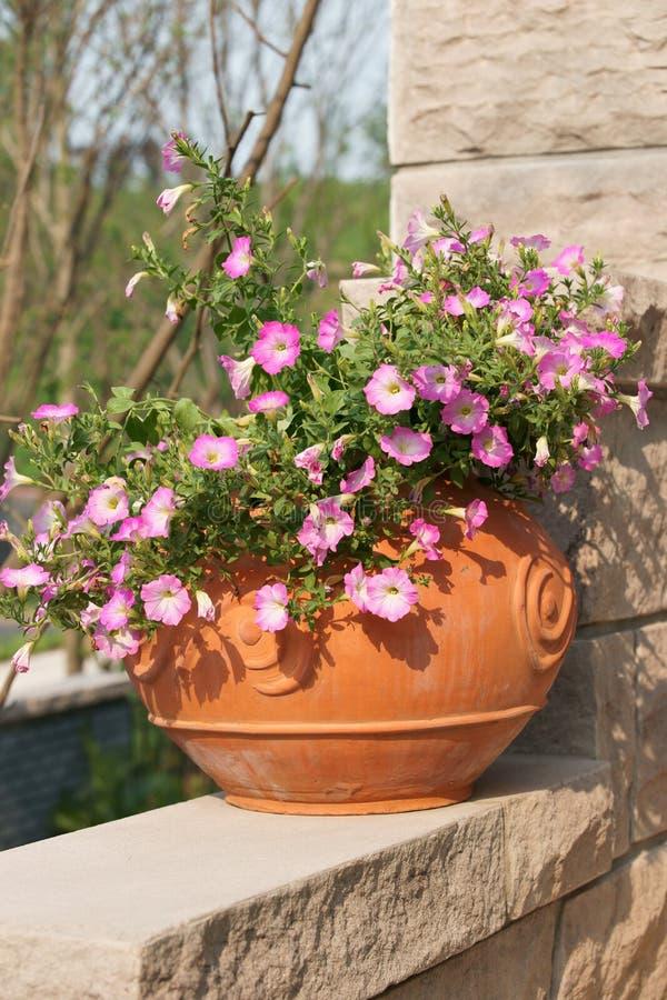Download Morgon För Blommagallipothärlighet Fotografering för Bildbyråer - Bild av trädgård, trädgårdsnäring: 19787683