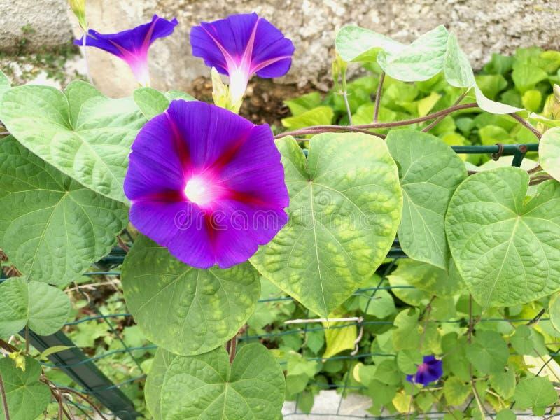 Morgon Glory Flower fotografering för bildbyråer